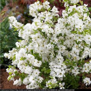 Obiela wielkokwiatowa The Bride Exochorda  The Bride