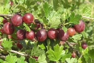 Agrest Captivator NA PNIU - BEZKOLCOWY I S... Ribes uva-crispa Captivator
