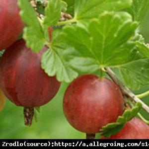 Agrest Hinomaki Rot Ribes uva-crispa Hinomaki Rot
