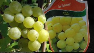 Winorośl Iza Zaliwska Vitis