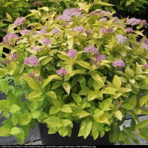 Tawuła japońska Goldmound Spiraea japonica  Goldmound
