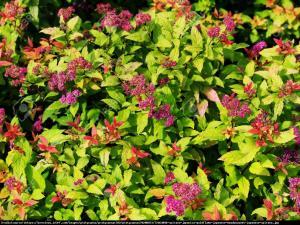 Tawuła japońska  Goldflame  Spiraea japonica  Goldflame