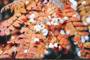 Jarzębina biała Sorbus koehneana