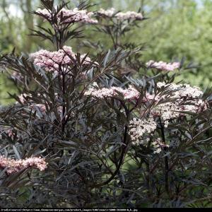 Bez czarny Black Lace - DEKORACYJNE LIŚCI... Sambucus nigra Black Lace