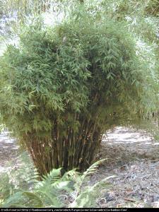 Bambus Fargesia murielae