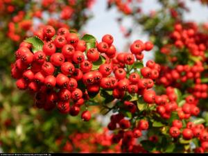 Ognik szkarłatny Red Column  Pyracantha coccinea  Red Column