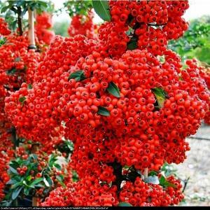 Ognik szkarłatny Red Column  Pyracantha coccinea  Red Column