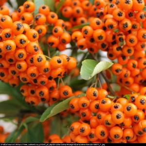 Ognik szkarłatny Orange Glow  Pyracantha coccinea Orange Glow