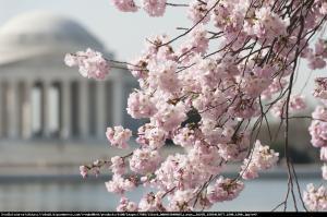 Wiśnia piłkowana Kiku-shidare-zakura... Prunus serrulata Kiku-shidare-zakura...
