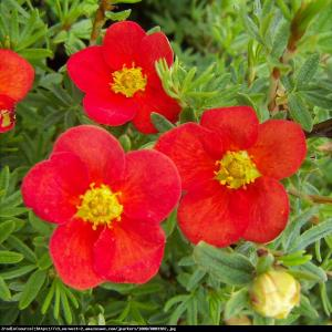 Pięciornik Red Ace  Potentilla fruticosa Red Ace