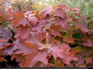 Hortensja dębolistna Burgundy Hydrangea quercifolia Burgundy