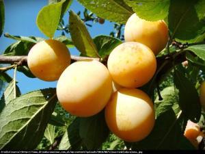 Śliwa Renkloda Ulena Prunus