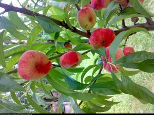 Brzoskwinia płaska 'Saturn' Prunus persica 'Saturn'