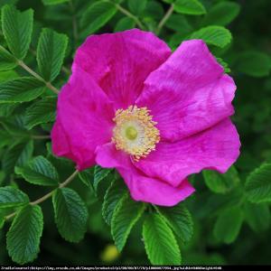 Róża pomarszczona Rosa rugosa