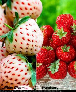Truskawka ananasowa White Dream Fragaria White Dream