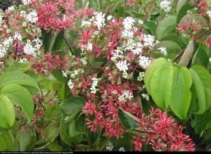 Heptakodium chińskie Heptacodium miconioides