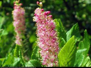 Orszelina zwyczajna Pink Spire Clethra alnifolia Pink Spire