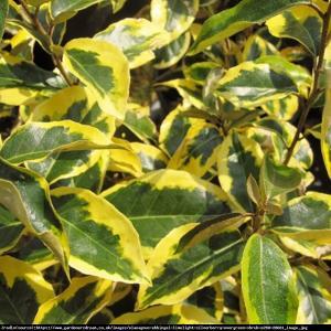 Oliwnik Ebbinga Limelight Elaeagnus ebbingei Limelight