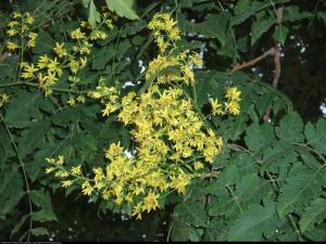 Mydleniec wiechowaty  Koelreuteria paniculata