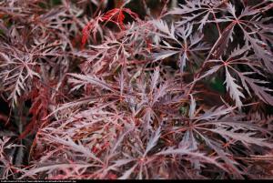 Klon palmowy Garnet Acer palmatum Garnet