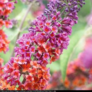 Budleja  Flower Power  Buddleia  Flower Power