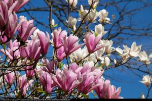 Magnolia Betty Magnolia Betty