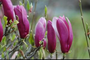 Magnolia Nigra Magnolia liliflora Nigra
