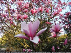 Magnolia Galaxy Magnolia Galaxy