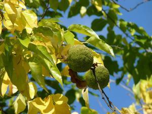 Żółtnica pomarańczowa Maclura pomifera