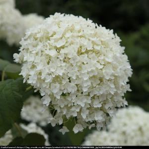 Hortensja drzewiasta Anabelle  Hydrangea arborescens Anabelle
