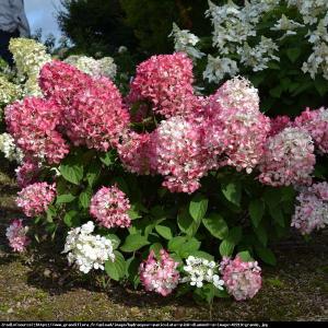 Hortensja bukietowa Pink Diamond Hydrangea paniculata  Pink Diamond ...