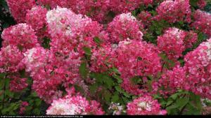 Hortensja bukietowa Pink Lady  Hydrangea paniculata  Pink Lady ...