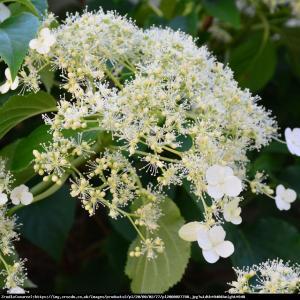 Hortensja pnąca Hydrangea anomala subsp. petiolaris ...