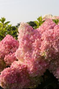 Hortensja bukietowa Vanille Fraise Hydrangea paniculata  Vanille Fraise ...