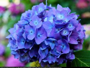 Hortensja ogrodowa niebieska Hydrangea macrophylla niebieska