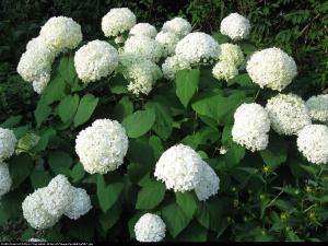 Hortensja ogrodowa biała Hydrangea macrophylla biała