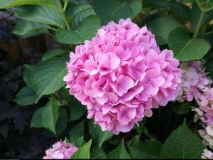 Hortensja ogrodowa różowa Hydrangea macrophylla