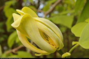 Magnolia drzewiasta - drzewo ogórkowe... Magnolia acuminata