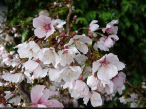 Wiśnia wczesna Kojou-no-mai Prunus incisa  Kojou-no-mai