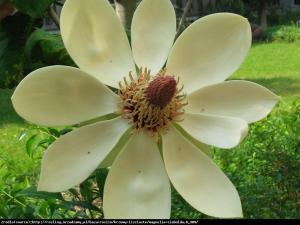 Magnolia Siebolda Duża C3 Magnolia Sieboldii