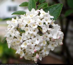 Kalina angielska Viburnum carlcephalum