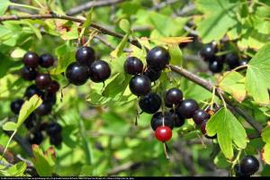 Porzeczkoagrest Josta Ribes nidigrolaria