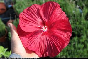 Hibiskus bagienny XXL Luna Red Hibiscus moscheutos XXL Luna Red