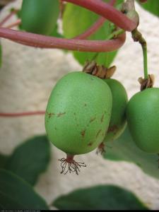 Mini Kiwi aktinidia ostrolistna Weiki Że�... Actinidia arguta Weiki Female