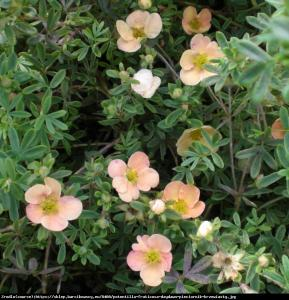 Pięciornik krzewiasty Daydawn  Potentilla fruticosa Daydawn