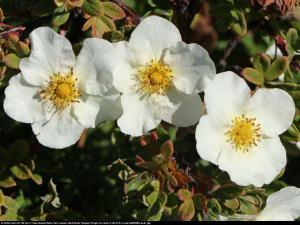 Pięciornik krzewiasty Tilford Cream ... Potentilla fruticosa Tilford Cream ...