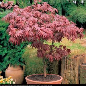 Klon palmowy Atropurpureum Acer palmatum  Atropurpureum