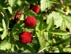Malino-truskawka Rubus illecebrosus