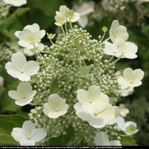 Hortensja bukietowa Tardiva  Hydrangea paniculata Tardiva