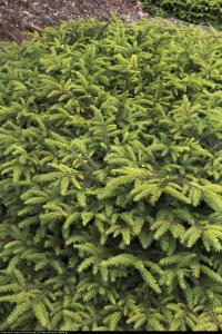 Świerk pospolity Nidiformis  Picea abies Nidiformis
